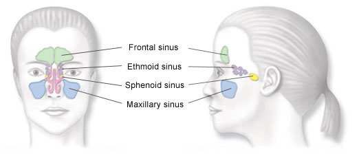 A diagram of the human sinuses.